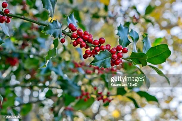 holly ivy tree - tree stock pictures, royalty-free photos & images