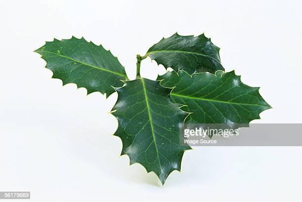 holly leaf - acebo fotografías e imágenes de stock