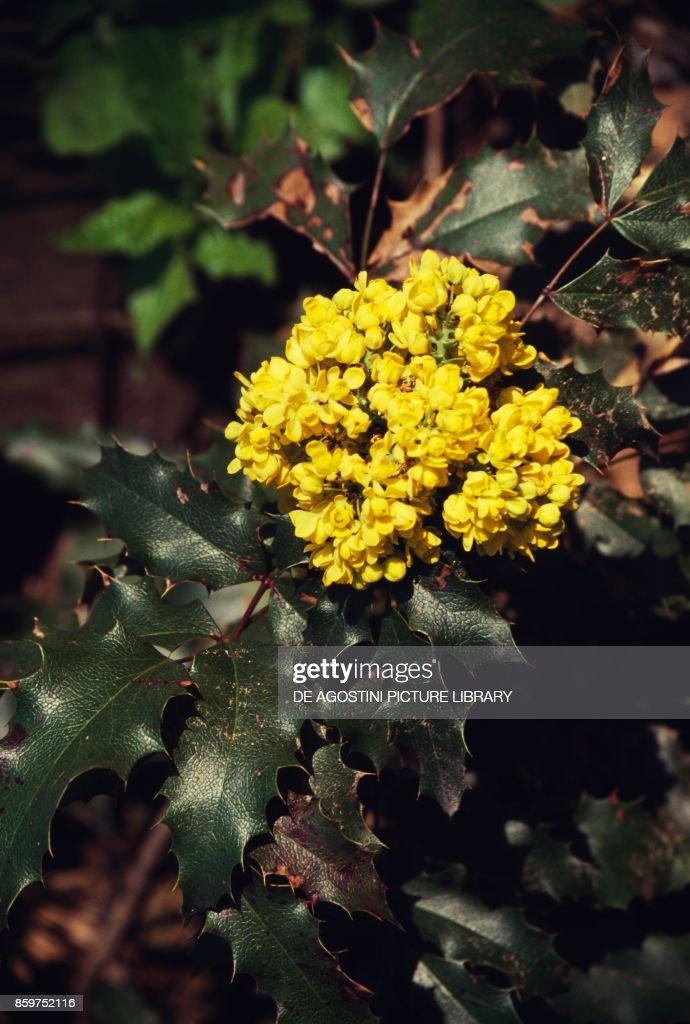 Holly ilex aquifolium leaves and flowers aquifoliaceae pictures holly ilex aquifolium leaves and flowers aquifoliaceae mightylinksfo