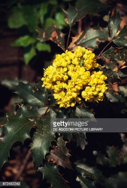 Holly leaves and flowers, Aquifoliaceae.