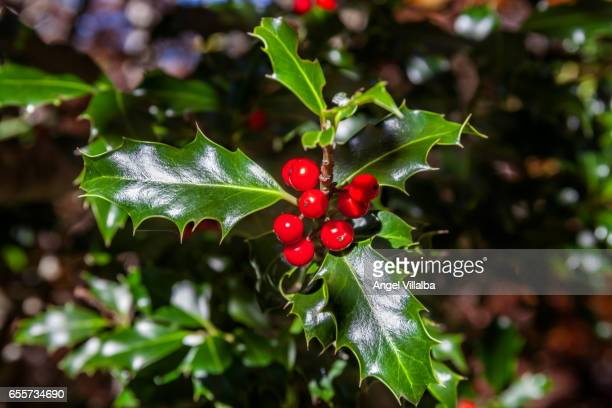 holly (ilex aquifolium) - holly stock pictures, royalty-free photos & images