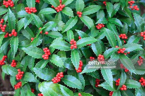 Holly with Berries, Kanagawa Prefecture, Honshu, Japan