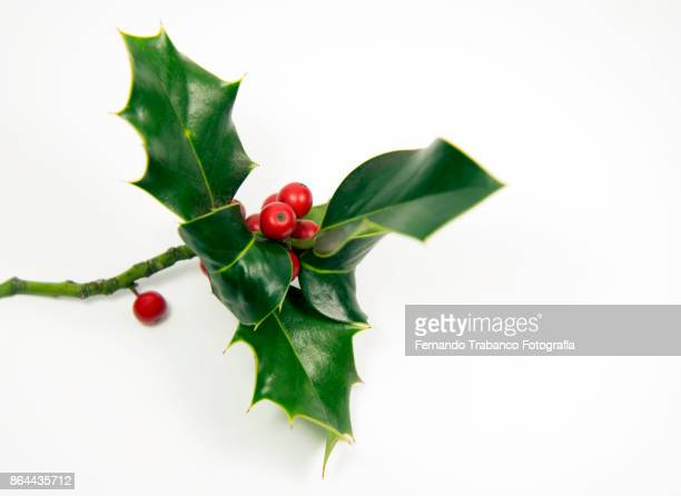 holly with fruits - what color are the berries of the mistletoe plant stock pictures, royalty-free photos & images