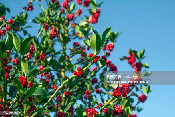 holly with red fruits - what color are the berries of the mistletoe plant stock pictures, royalty-free photos & images