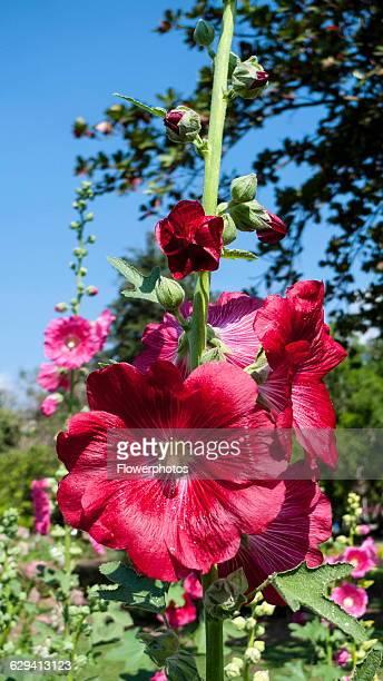 Hollyhock, Alcea rosea cultivar. Flower spike with deep, pinkish red flowers. Thailand, Chiang Mai, San Kamphaeng.