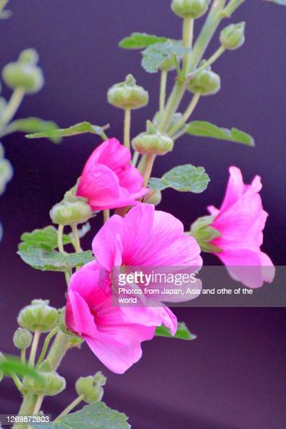 hollyhock / althaea rosea flower - hermaphrodite stock pictures, royalty-free photos & images
