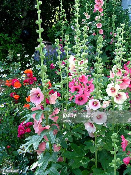 hollyhock country garden - hollyhock stock pictures, royalty-free photos & images
