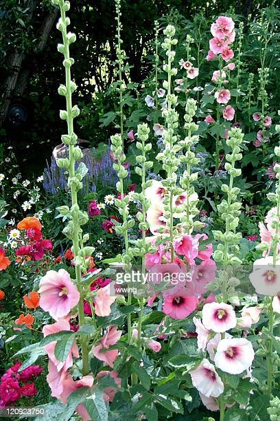 hollyhock flower garden - hollyhock stock pictures, royalty-free photos & images