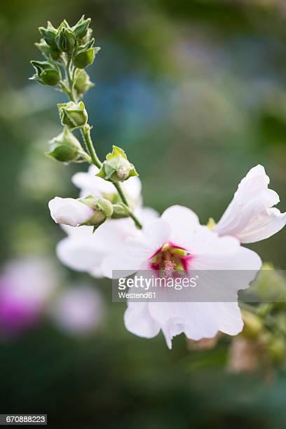 Hollyhock flower, Malva, blossom