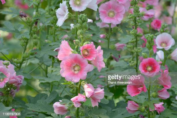 hollyhock, malva (alcea rosea hollyhock) flower, pink flower - hollyhock stock pictures, royalty-free photos & images