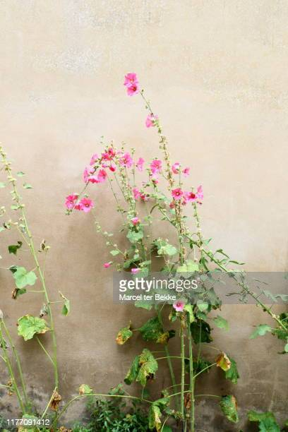 hollyhock plant in front of a wall - hollyhock stock pictures, royalty-free photos & images