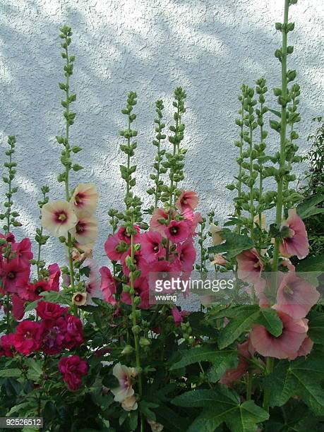 hollyhocks against a stucco wall - hollyhock stock pictures, royalty-free photos & images