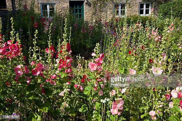 hollyhocks at a cottage garden, gloucestershire, england, uk - hollyhock stock pictures, royalty-free photos & images