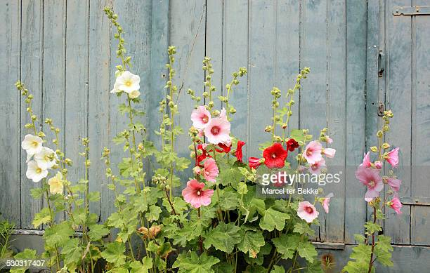 hollyhocks in front of an old house - hollyhock stock pictures, royalty-free photos & images