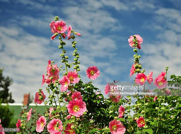hollyhocks - hollyhock stock pictures, royalty-free photos & images