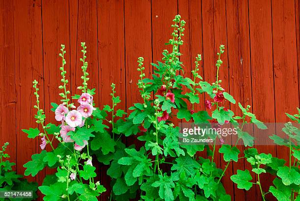 hollyhocks - bo zaunders stock pictures, royalty-free photos & images