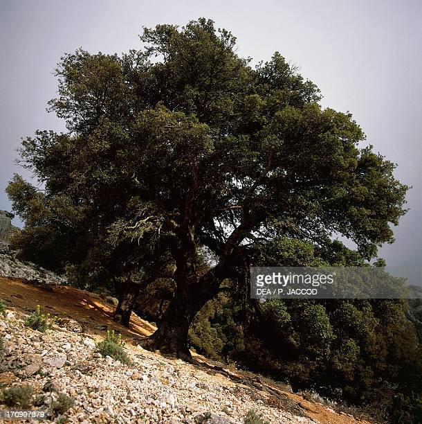 Holm oak in the vicinity of Scale 'and Pradu Supramonte of Oliena National Park of the Bay of Orosei and Gennargentu Sardinia Italy