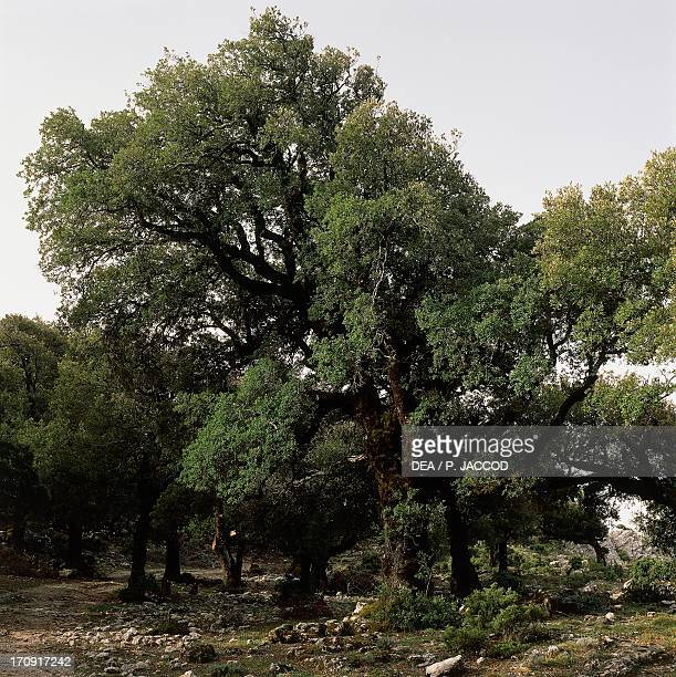 Holm oak near Punta Solitta Orgosolo National Park Gulf of Orosei and Gennargentu Sardinia Italy Detail of the trunk