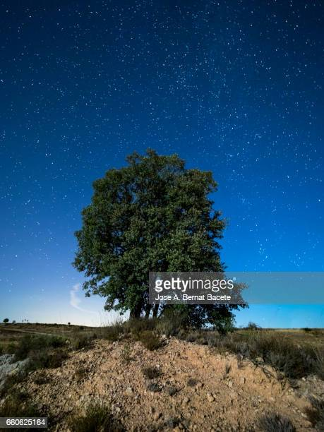 Holm oak on a small mound of earth in the field a night of blue sky with stars
