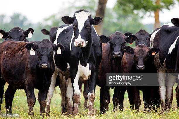 Holstein and Angus Cattle on Farm