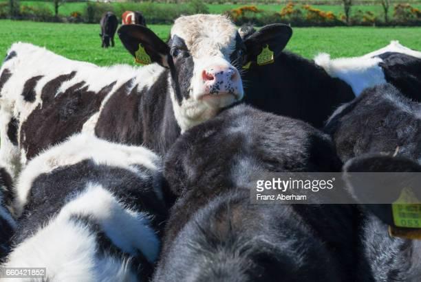 Holstein calf, Ireland