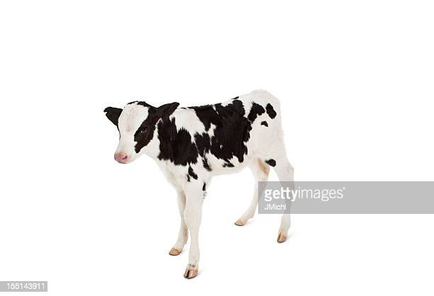 Holstein Calf Looking at Camera on a White Background.