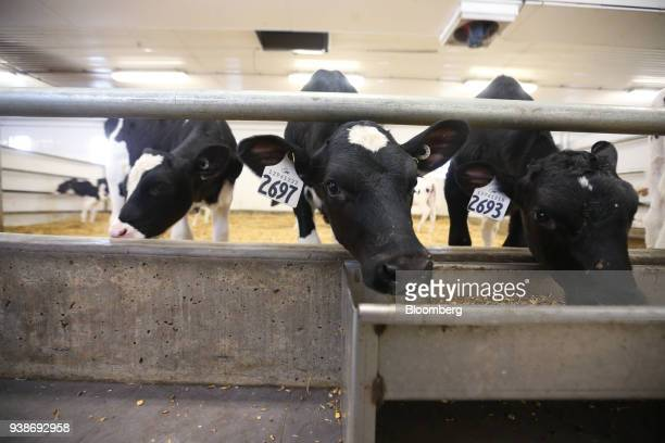 Holstein calves between one week and one month old eat from a trough at the Skyline Dairy farm near Grunthal Manitoba Canada on Friday March 16 2018...