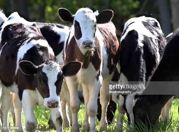 Holstein Calves Cattle Cows Dairy Farm