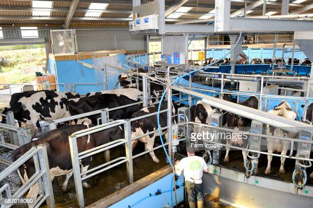 Holstein cattle walking onto a rotary parlor for milking Cumbria