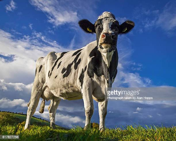 Holstein cow against a blue sky background