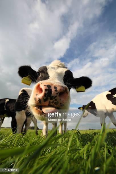 holstein cow close- up - friesland noord holland stockfoto's en -beelden