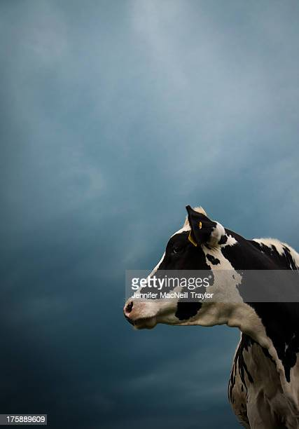CONTENT] Holstein cow looks off into the distance as a strong summer storm approaches in Lancaster County PA