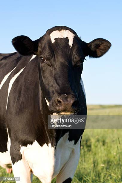 holstein cow - dairy cattle stock pictures, royalty-free photos & images
