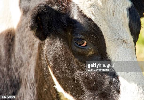 holstein cow - cow eyes stock pictures, royalty-free photos & images