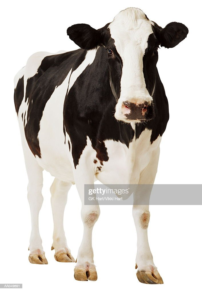 Cow Stock Photos and Pictures Getty Images