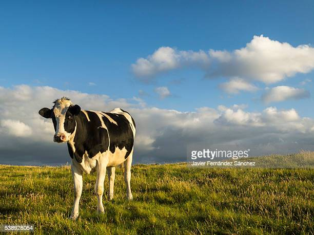 A Holstein cow to produce milk, grazing in a meadow at sunset. In Cantabria, one of the regions with the highest milk production in Spain.