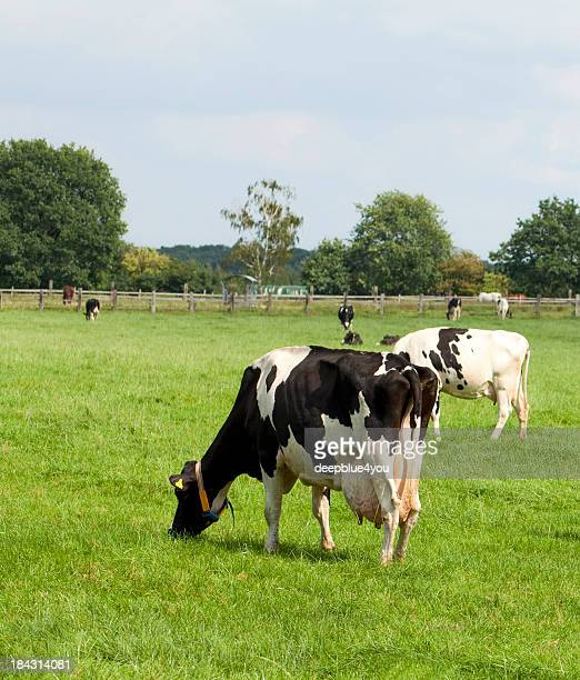 Holstein cow with plumb udder on grassland