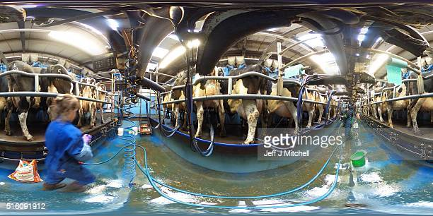 Holstein cows are milked at Clayland farm on March 16 2016 in Balfron Scotland Many farmers across the country are voicing concerns that Brexit could...