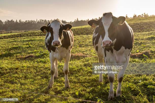 holstein cows grazing on a meadow - ranch stock pictures, royalty-free photos & images