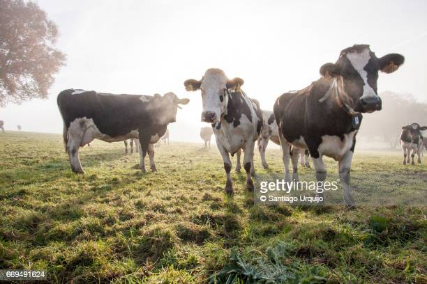 Holstein cows grazing on a meadow