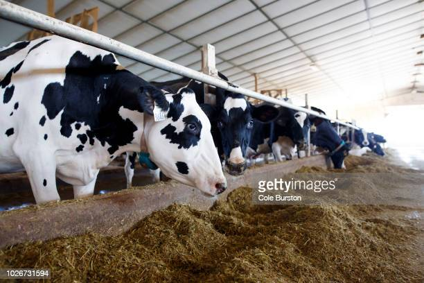 Holstein dairy cows are seen in their barn after being milked at Armstrong Manor Dairy Farm on September 4 2018 in Caledon Canada The Trump...