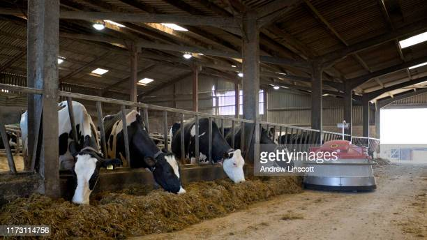 holstein dairy cows eating grass silage indoors - dairy farm stock pictures, royalty-free photos & images