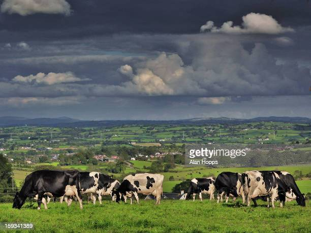 CONTENT] Holstein dairy cows graze near Markethill County Armagh Northern Ireland