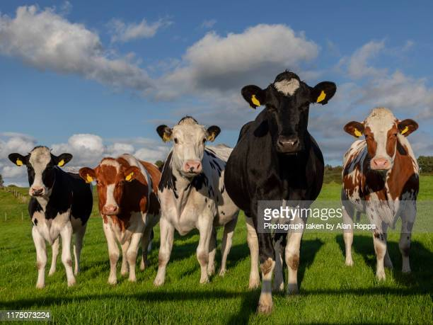 5 holstein heifers looking at the camera - grass stock pictures, royalty-free photos & images