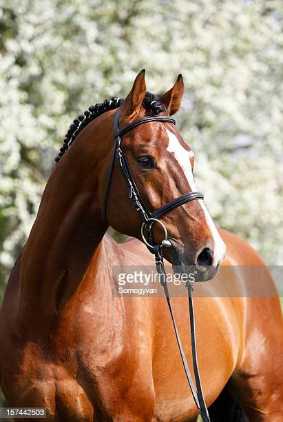 Retrato Holsteiner caldo stallion