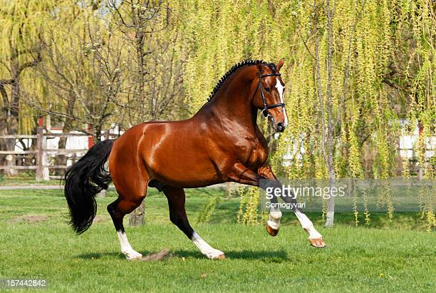 holsteiner stallion galloping - thoroughbred horse stock photos and pictures