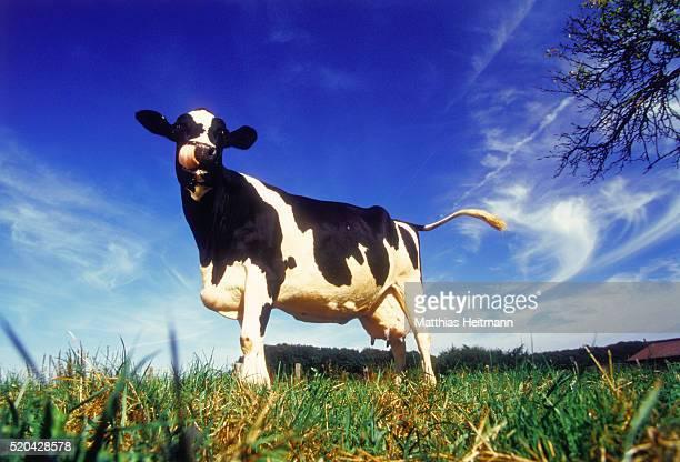 Holstein-Friesian cow on meadow