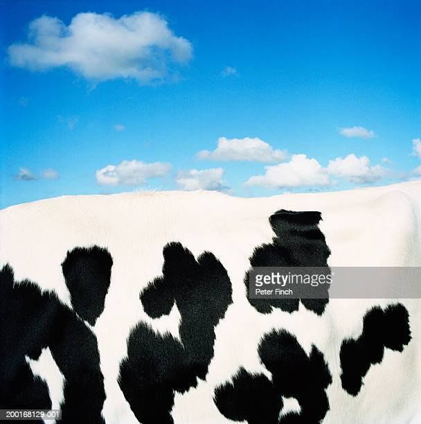 Holstein-Friesian cow, side view, close-up of coat
