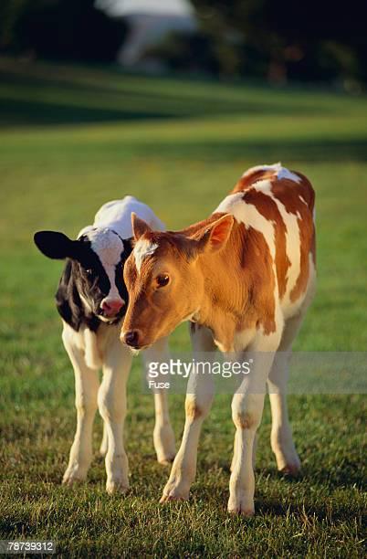 Holstein-Jersey Mix Calf and Holstein Calf