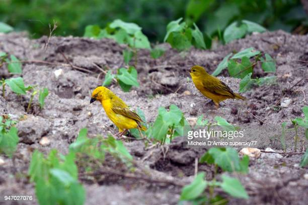 holub's golden weaver (ploceus xanthops) and  cuckoo-finch (anomalospiza imberbis) - michele weaver stock pictures, royalty-free photos & images